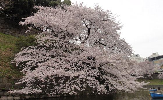blog11.4.7chidorigafuchi6.jpg