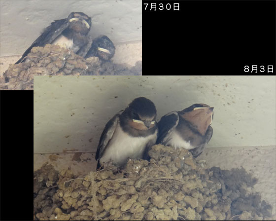 blog12.8.3swallows.jpg