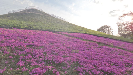 blog14.4.11shibazakura.jpg