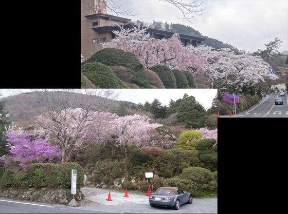 blog14.4.14sakura.jpg